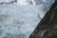 A single plant grows on a steep rock in front of South Sawyer Glacier in Alaska.