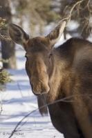 Alces alces Moose Winter