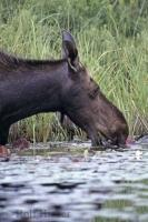 A moose feeding in the Algonquin Provincial Park of Ontario, Canada. The scientific name for a moose is Alces alces.