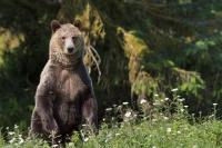 An alert Grizzly Bear mom keeps standing up and looking out for males in order to protect her cubs in Great Bear Rainforest in British Columbia, Canada.