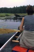 Paddling in a canoe is one of the best ways to see much of Algonquin Provincial Park and its wild inhabitants such as Moose.