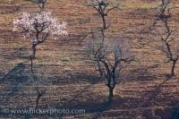 At the base of the Sierra Nevada near the town of Fondon in Andalusia, Spain one will find rows of Almond Trees. A solitary Almond tree finds itself blossoming before the rest of its group.