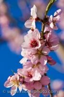Small pink flowers blossom on an Almond tree near the town of Tarbena along the Costa Blanca in the Province of Alicante in Comunidad Valenciana, Spain.
