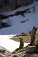 An Alpine Marmot scopes out his terrain in the snow covered Dolomite mountain range in Italy, Europe.