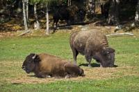 Relaxing in the sunshine of Parc Omega, Quebec, two American Bison, also known as Buffalo, enjoy the safety and beauty which surrounds them.