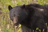 The American Black bears are abundant on Vancouver Island, British Columbia, Canada.
