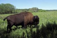 The American Bison is the largest land animal of North America. This bison was found in the Riding Mountain National Park of Manitoba, Canada.