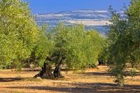 Near the Museum of the Olive near the town of Baeza in the Province of Jaen in Andalusia, Spain, the landscape is filled with a mass of olive trees which thrive in the warm sun.
