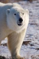 Angry Polar Bear Photo Churchill