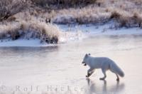 The Arctic Fox is an animal that loves the chilly winters around Churchill, Manitoba as he walks across the icy tundra while we snap his picture.
