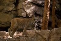 Animal Picture Canadian Lynx