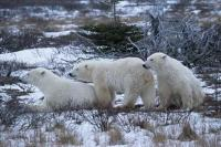 Polar bears are well adapted animals for the winter conditions of the arctic regions they live in such as Canada, and Alaska.