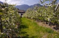 Apricot Orchard South Tyrol Northern Italy