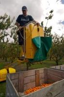 Apricot Picker Central Otago