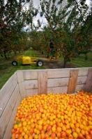 A wooden shipping crate is used during harvest time to aid the commercial picker in the orchard near Roxburgh in Central Otago on the South Island of New Zealand.