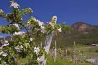 A flowering branch of an Apricot tree flourishing in an orchard, backdropped by the valley and hills of the South Tyrol of Italy.