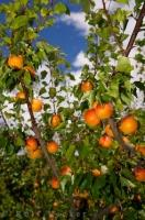 Brilliant colored apricots are ready to be picked on this apricot tree in Roxburgh, New Zealand.