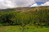 Apricot Trees Orchard Roxburgh Central Otago NZ