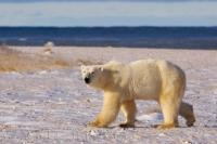 An Arctic Polar Bear walks on the icy fringes of Hudson Bay and glances over to where the camera is located. This is an animal that is endangered and is rapidly losing its habitat in areas like Hudson Bay in Churchill, Manitoba, northern Canada.