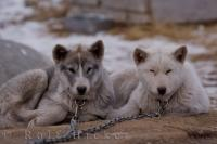 A couple of young Canadian Eskimo Dog puppies laying around which are special breeds of dog that are accustomed to the Arctic climates around Churchill, Manitoba in Canada.