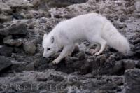 The rocky beach along the Hudson Bay in Churchill, Manitoba begins to get its winter frost making foraging a little more difficult for an Arctic Fox.