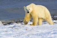 Polar Bear Arctic Habitat Hudson Bay Canada