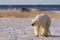 A native animal to the arctic regions of the world, the polar bear is equally at home on the icy shores, or in the frigid waters of the arctic such as in Hudson Bay, Canada - a part of the Arctic Ocean.