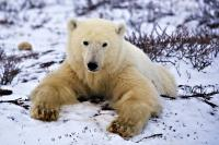 The magnificent polar bear is one species of wildlife which is right at home in the arctic environment of northern Manitoba, Canada where it spends the summer months conserving its energy on the shores of Hudson Bay.