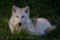 Arctic Wolf Picture Quebec Wildlife Park