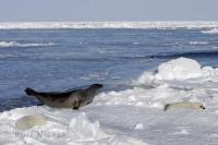 These harp seals were on the ice floes on the Gulf of St Lawrence in Canada and can withstand arctic conditions.