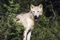 Found in the northern regions of North America and Greenland, the arctic wolf survives in the harshest regions of the world.