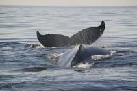 Humpback Whales are just one of the animals found in the Atlantic Ocean in Newfoundland, Canada.