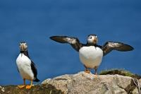 Two Atlantic Puffins stand on Bird Island, a nesting place for them, discovered by Captin James Cook in 1775. The Island is located just off shore from Cape Bonavista Lighthouse, in Bonavista Bay, Newfoundland Canada.