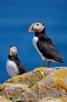 Two Atlantic Puffins, proper name Fratercula arctica, nest on Bird Island, which is an island devoted just to birds, off shore from Cape Bonavista Lighthouse on the Bonavista Peninsula in that same bay near Newfoundland Labrador in Newfoundland, Canada.