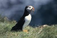 A Atlantic Puffin presents proud its fresh caught capeline fish.