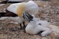 A mother Australasian Gannet tends to her chick at the Cape Kidnappers colony on the North Island of NZ.