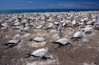 The Australasian Gannet families grow every October at the Cape Kidnappers colony at Hawkes Bay on the North Island of New Zealand as this is when the chicks are hatched.