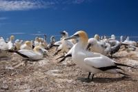 Australasian Gannets Colony