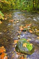 A boulder with just a tuft of moss is surrounded by the fallen leaves of Autumn in the Goldstream River, which is part of the Goldstream Provincial Park rainforest in Victoria on Vancouver Island, British Columbia.