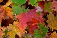 Autumn has arrived in Algonquin Provincial Park in Ontario, Canada as the Maple leaves create a beautiful picture before dropping from their branches.