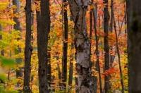 The woods along the road to Rock Lake in Algonquin Provincial Park in Ontario, Canada are a spectacular display of color in the Autumn.