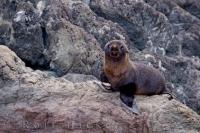 Baby Fur Seal Cape Palliser