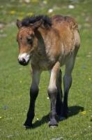 This adorable baby horse wanders through the fields at Port de la Bonaigua in the Pyrenees in Catalonia, Spain.