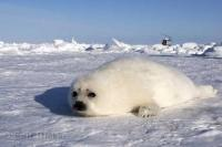 A baby harp seal pup rests on the ice floes in the Gulf of St Lawrence near Newfoundland, Canada.