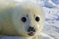 Cute Baby Seal Pup