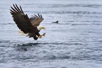 Adult fishing bald eagle with wide open wings split second away from catching a salmon along the British Columbia coast off Vancouver Island, Canada.