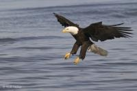 Bald Eagle Photos