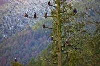 Animals Bald Eagle Tree Winter Vancouver Island
