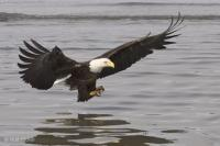 Bald Eagle Fishing At Waterlevel