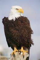 A majestic bald eagle, a symbol of freedom, poses for a portrait picture in the town of Homer, Alaska.